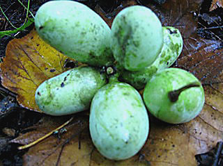 Michigan Pawpaw fruit cluster