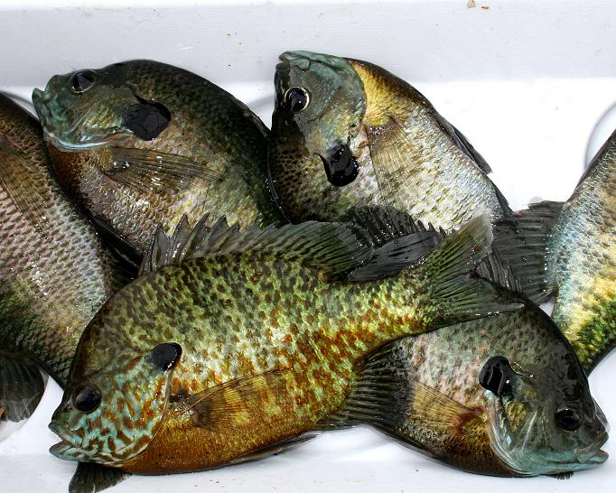 Panfish tasty gems by george hedgepeth michigan for Edible freshwater fish